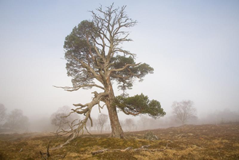 Scots Pine_edited-1